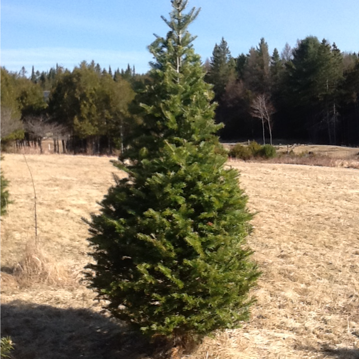 Balsam Fir - $3.10/Tree