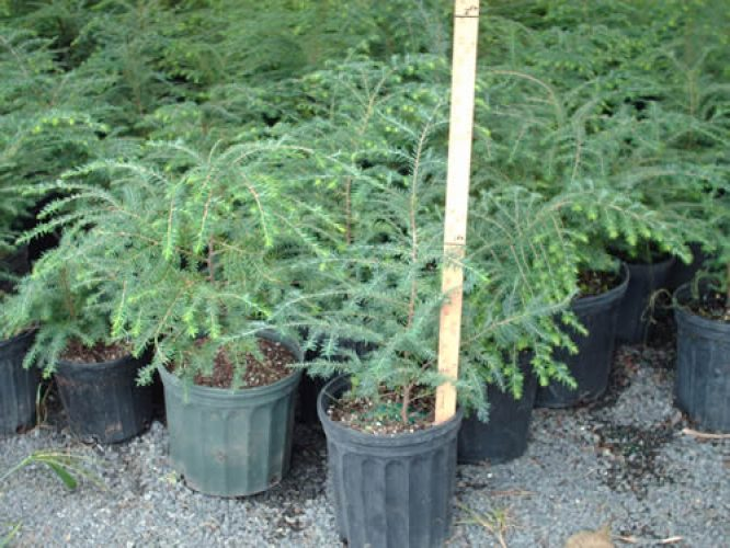Hemlock Trees - Start at $16.25/Tree