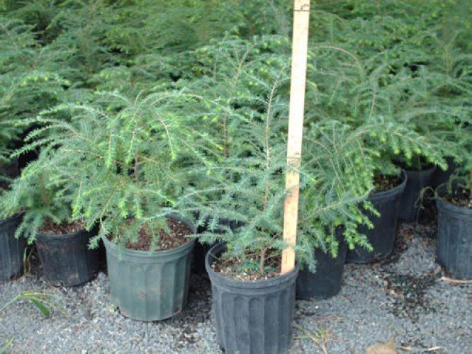 Hemlock Trees - Start at $17.84/Tree