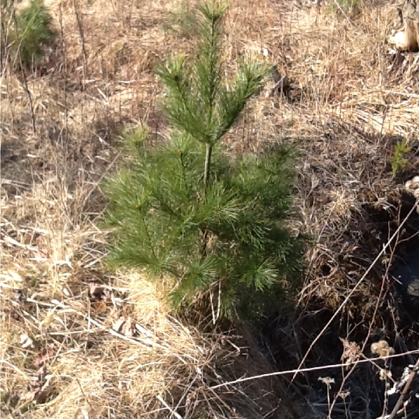 Pine Trees - Start at $16.25/Tree