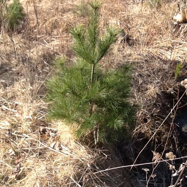 Pine Trees - Start at $17.84/Tree