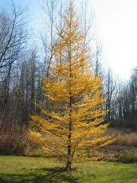 Tamarack Trees - Start at $16.25/Tree