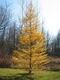 Tamarack Trees - Start at $17.84/Tree