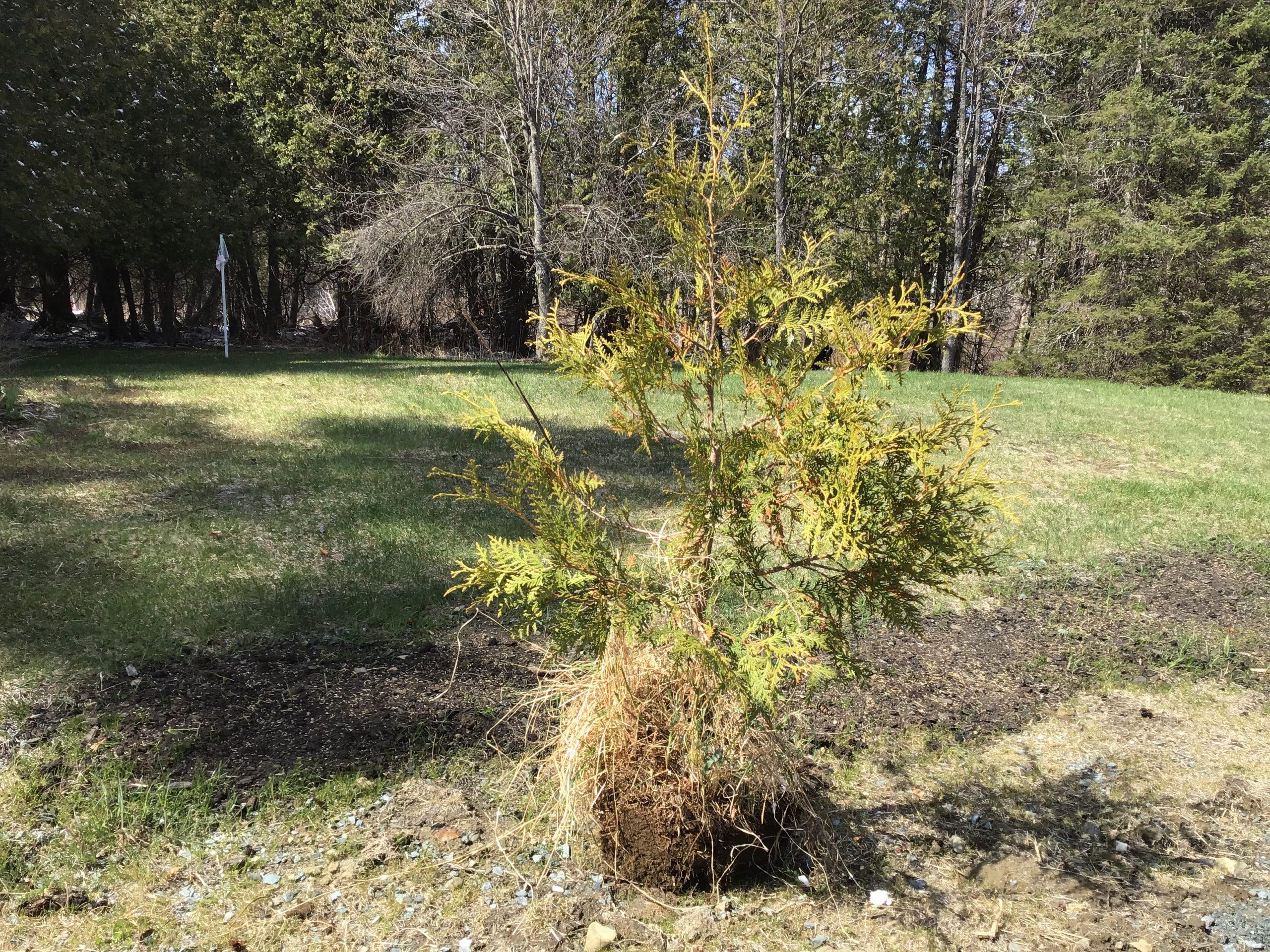 Cedar Trees - Start at $2.78/Tree